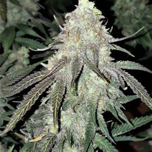 Cannabis Seeds Canada 2