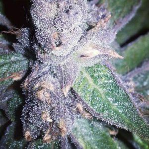 Cannabis Seeds Canada 19