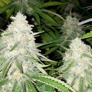 Cannabis Seeds Canada 28
