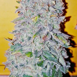 Cannabis Seeds Canada 16
