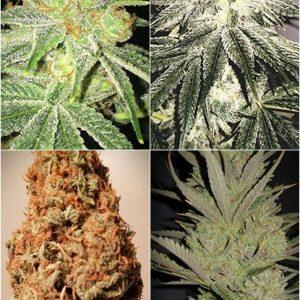 Cannabis Seeds Canada 24